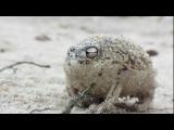 Самое милое существо на земле: австралийская дождевая лягушка))